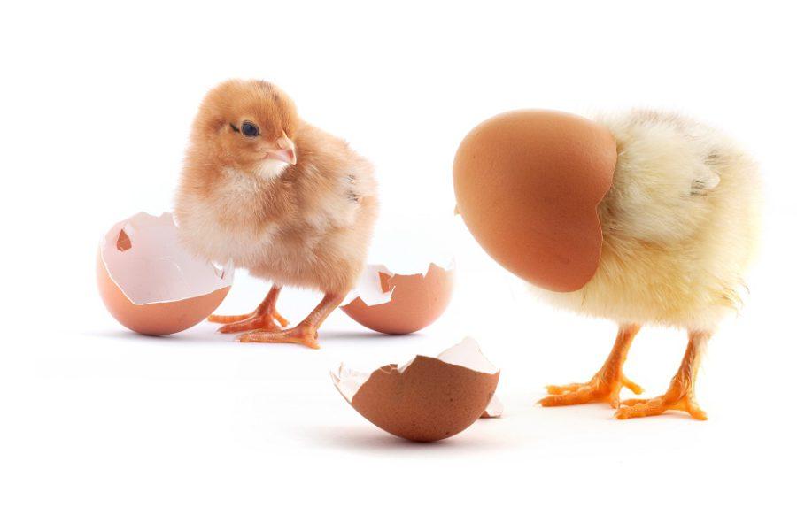 Kurczak i jajko
